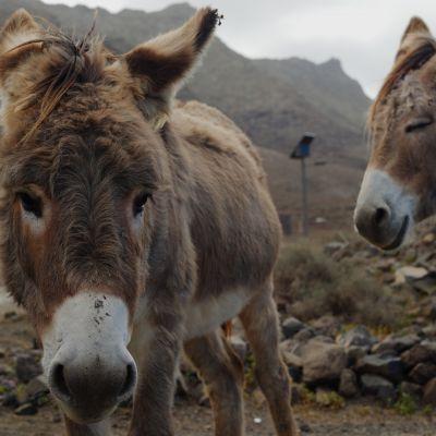 Donkeys at Cofete Village, Fuerteventura