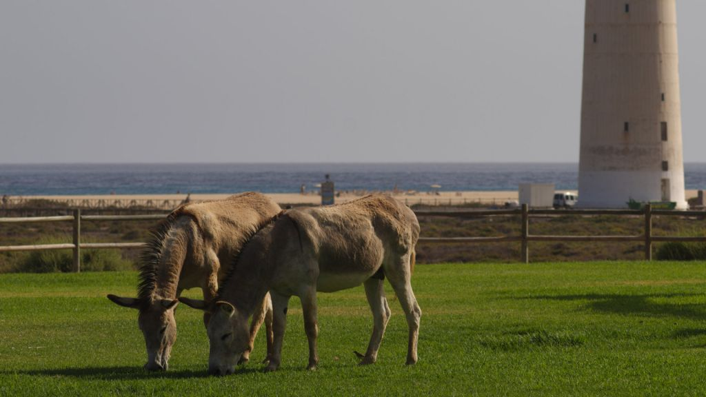 Donkeys grazing in Jandia